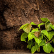The Green plant on a old wall — Stock Photo