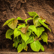 The Green plant on a old wall — ストック写真