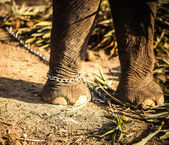 Sri lankan elephant. leg on the chain — Stock Photo