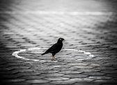 Pássaro preto — Fotografia Stock