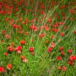 Red poppies — Stock Photo #12773528