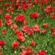 Red poppies — Stock Photo #12773586