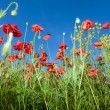 Poppy flowers against the blue sky — Stock Photo