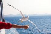 Feeding the gulls by hand — Stock Photo