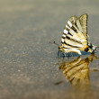 Exotic Swallowtail butterfly who drinks water - Stock Photo