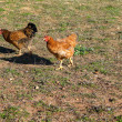 Two chicken — Stock Photo