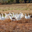 Royalty-Free Stock Photo: White geese