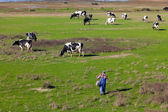 Traditional farming - A Herd of Cows with a Herdsman — Stock Photo