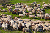 Herd of sheep on beautiful mountain meadow. — Stock Photo