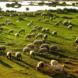 Flock of sheep grazing in Greece — Stock Photo