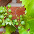 Biological grapes — Stock Photo #15656261