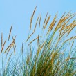 Reed grass — Stock Photo