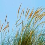 芦苇草 — 图库照片