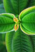 Ligustrum japonicum — Stok fotoğraf