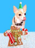 Chihuahua eating gingerbread man — Stock Photo