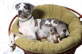 Two dogs on chair — Stock Photo