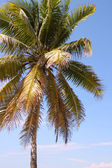 Beautiful coconut palm tree — Stock Photo