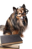 Studious Sheltie dog — Stock Photo