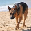 Dog alanya — Stock Photo