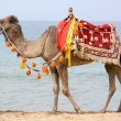Camel beach - Stock Photo