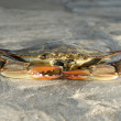 Crabs,turkey,beach — Foto de Stock
