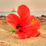 Dahlia Autumn flower — Stock Photo