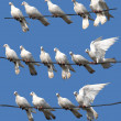 Stock Photo: White pigeon Columblivif