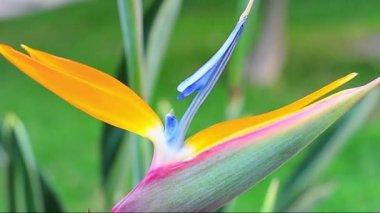 Strelezia、 鸟的天堂 — 图库视频影像