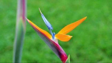 Strelezia, vogel van het paradijs — Stockvideo