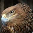 Stock Photo: American bald eagle portrait