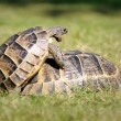 Stock Photo: Turtle,alanya, animal