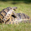 Turtle,alanya, animal — Stock Photo