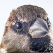 Female House Sparrow - Passer domesticus macro — Stock Photo