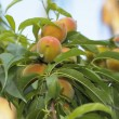 Ripe peaches fruits on a branch in orchard — Stock Photo