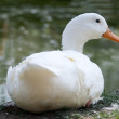 Loving swans forming a heart — Stock Photo