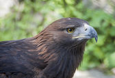 Close up of golden eagle head over white — Stock Photo