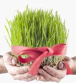 Le novruz herbe — Photo