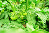 Green tomatoes — Stock fotografie