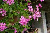 Blumen farben der dolomiten in der sommersaison - italien — Stockfoto