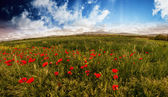 Field of Corn Poppy Flowers Papaver in Spring — Stock Photo