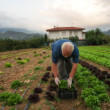 Foto Stock: Farmer with rows of salad on large agriculture field