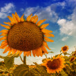 Beautiful landscape with sunflower field over cloudy blue sky an — Stock Photo #19445557