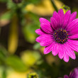 Stock Photo: Open violet daisy flower, closeup