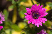 Open violet daisy flower, closeup — Stock Photo