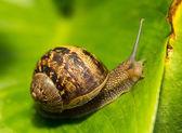 Zbliżenie: ślimak na zielony liść — Zdjęcie stockowe
