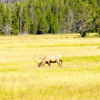 Stock Photo: Yellowstone Fauna