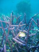 Podwodne sceny z wielka rafa koralowa — Zdjęcie stockowe