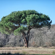 Pine tree on a beautiful park — Stockfoto