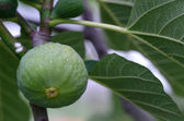 Green Fig on the Tree, Tuscany — Stock Photo