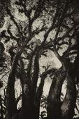 Textures of Bearded Mossman Trees, Australia — Stock Photo